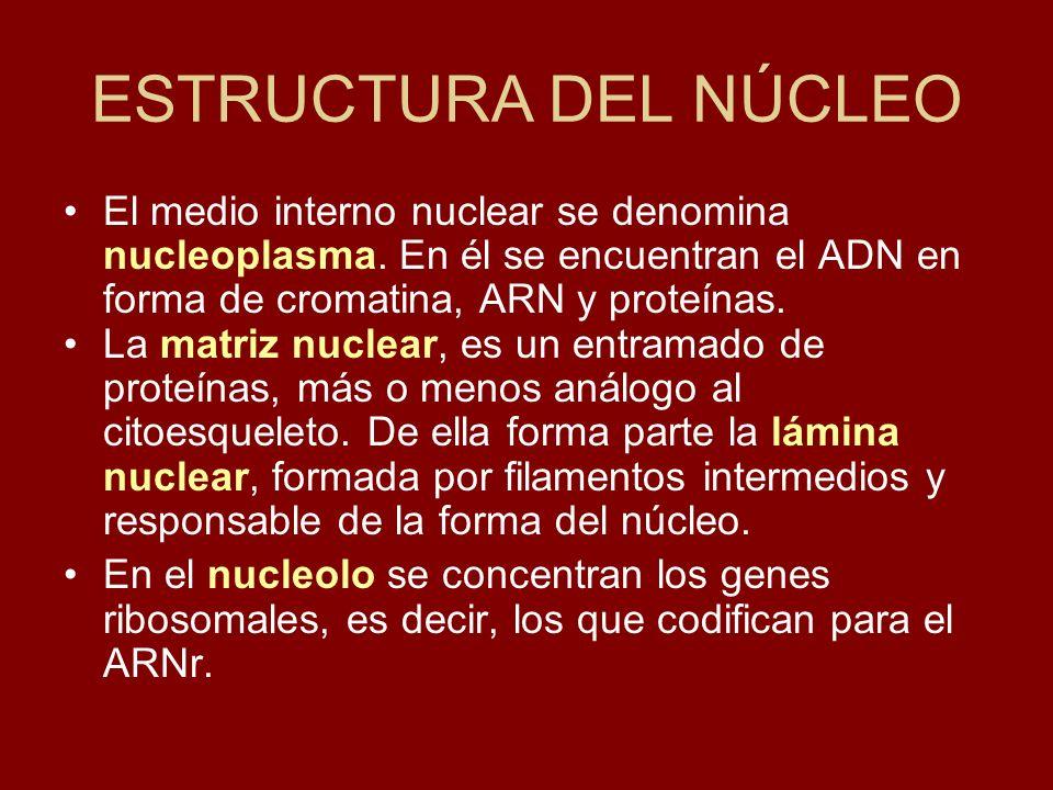 ESTRUCTURA DEL NÚCLEO El medio interno nuclear se denomina nucleoplasma. En él se encuentran el ADN en forma de cromatina, ARN y proteínas.