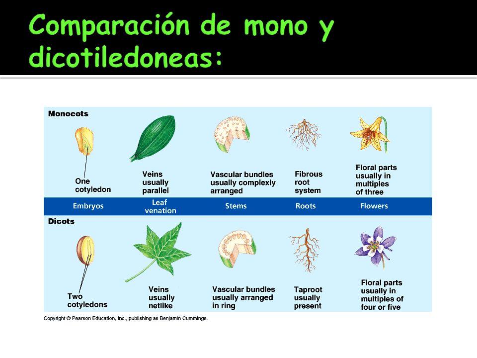Comparación de mono y dicotiledoneas: