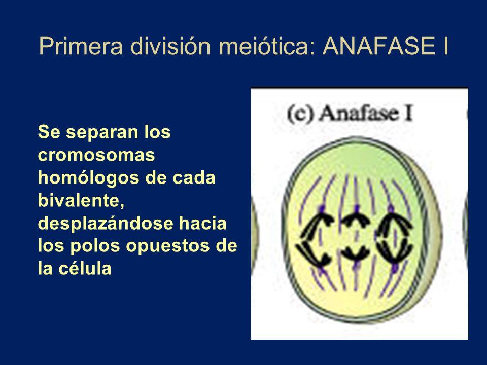 Primera división meiótica: ANAFASE I