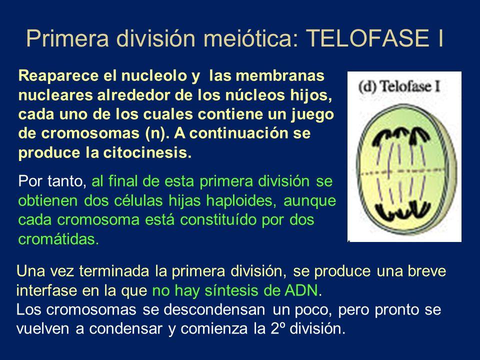 Primera división meiótica: TELOFASE I