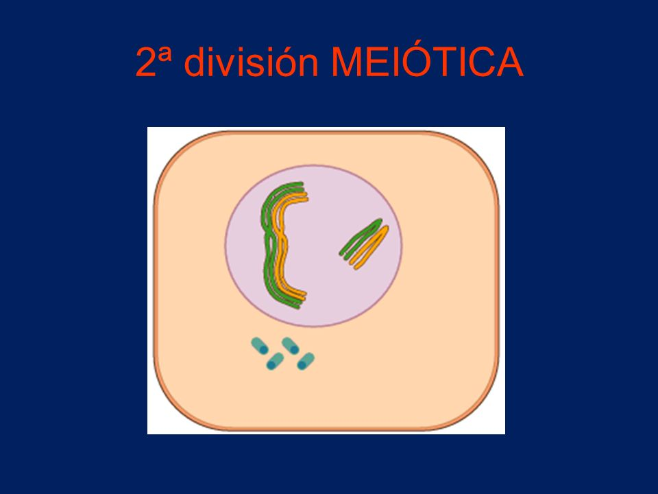 2ª división MEIÓTICA