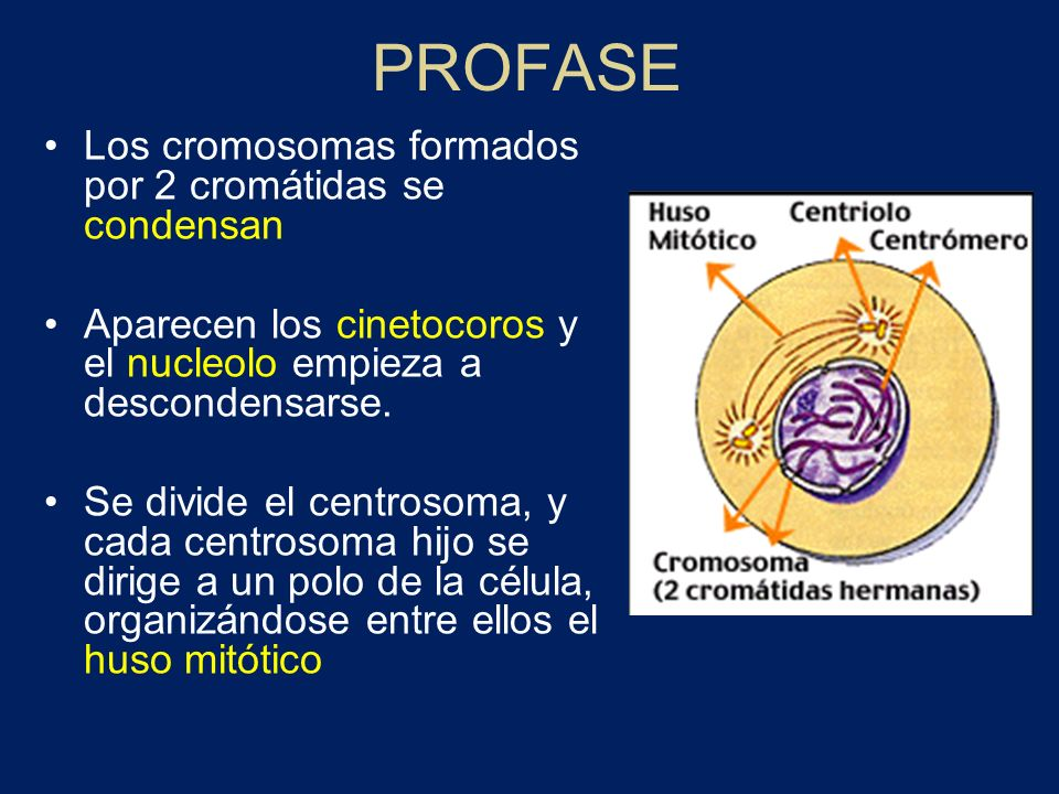 PROFASE Los cromosomas formados por 2 cromátidas se condensan
