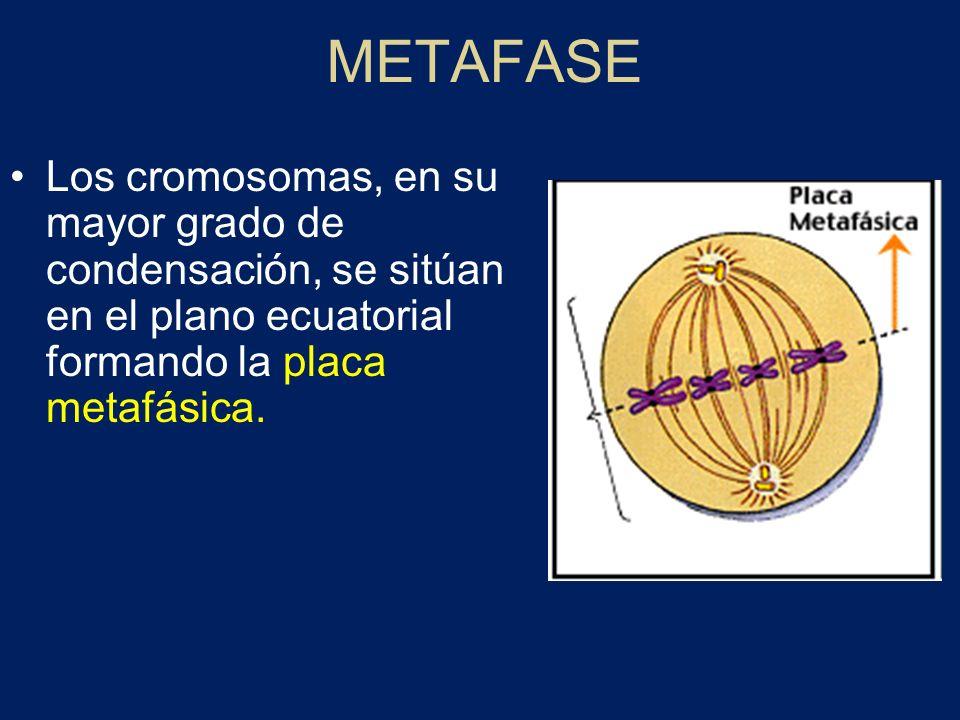 METAFASELos cromosomas, en su mayor grado de condensación, se sitúan en el plano ecuatorial formando la placa metafásica.