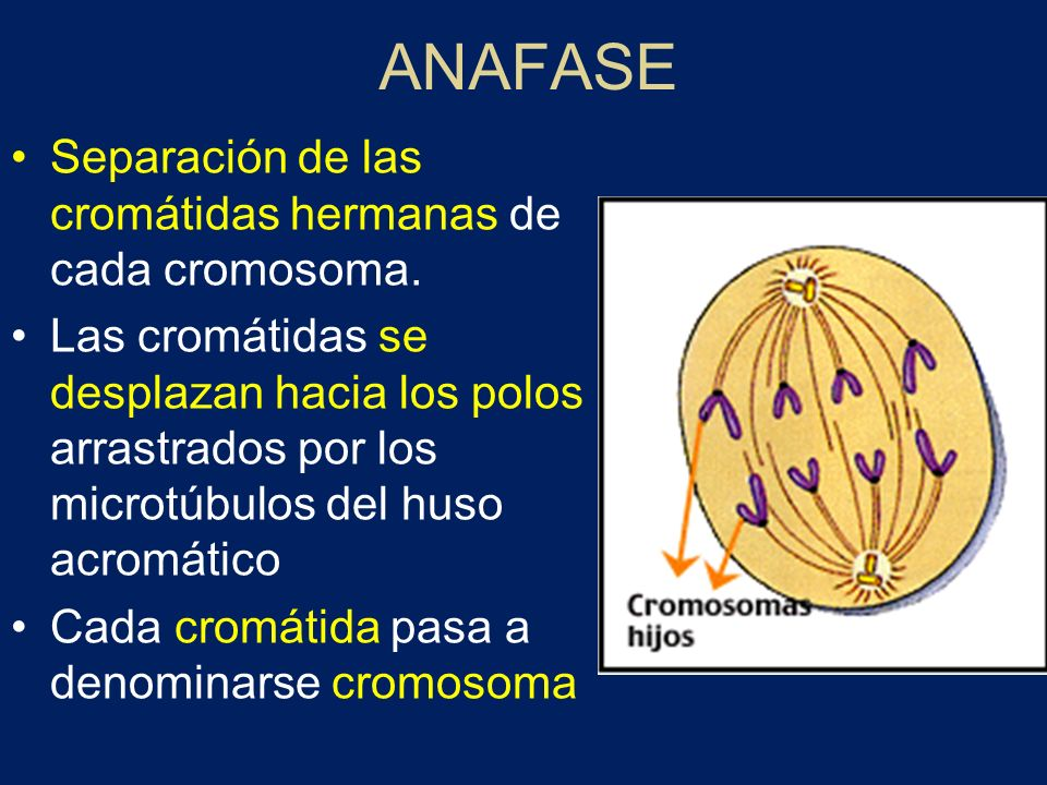 ANAFASE Separación de las cromátidas hermanas de cada cromosoma.