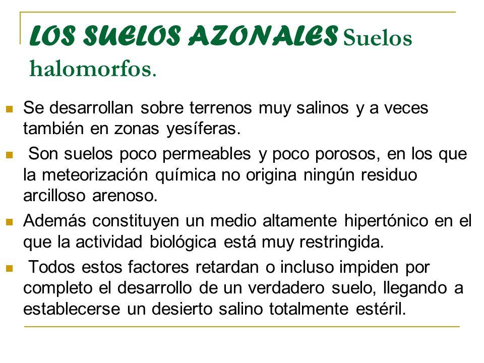 LOS SUELOS AZONALES Suelos halomorfos.