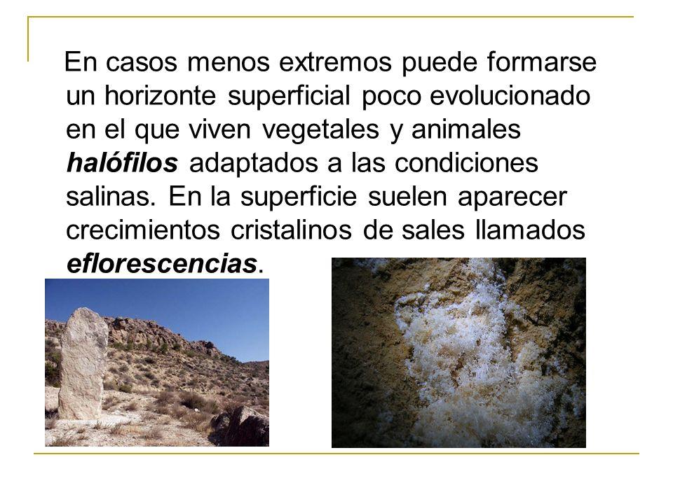 En casos menos extremos puede formarse un horizonte superficial poco evolucionado en el que viven vegetales y animales halófilos adaptados a las condiciones salinas.
