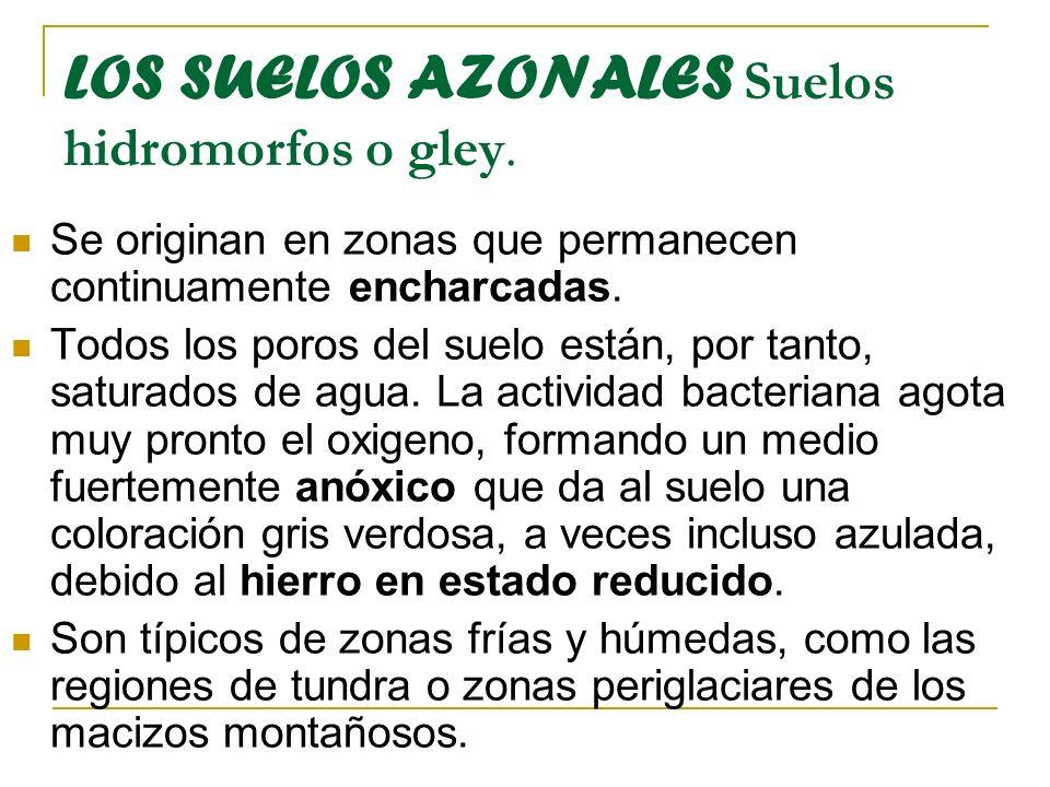 LOS SUELOS AZONALES Suelos hidromorfos o gley.