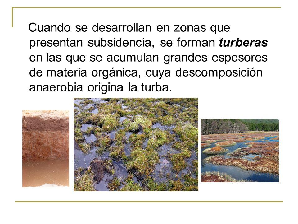 Cuando se desarrollan en zonas que presentan subsidencia, se forman turberas en las que se acumulan grandes espesores de materia orgánica, cuya descomposición anaerobia origina la turba.