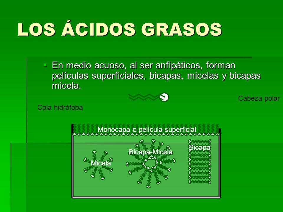 LOS ÁCIDOS GRASOS En medio acuoso, al ser anfipáticos, forman películas superficiales, bicapas, micelas y bicapas micela.