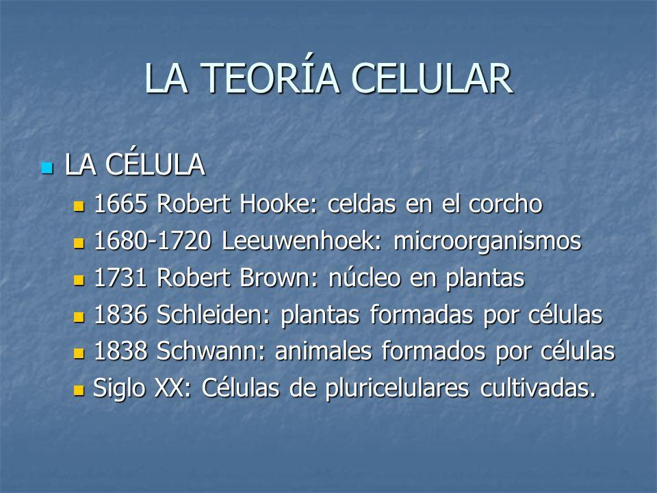 LA TEORÍA CELULAR LA CÉLULA 1665 Robert Hooke: celdas en el corcho