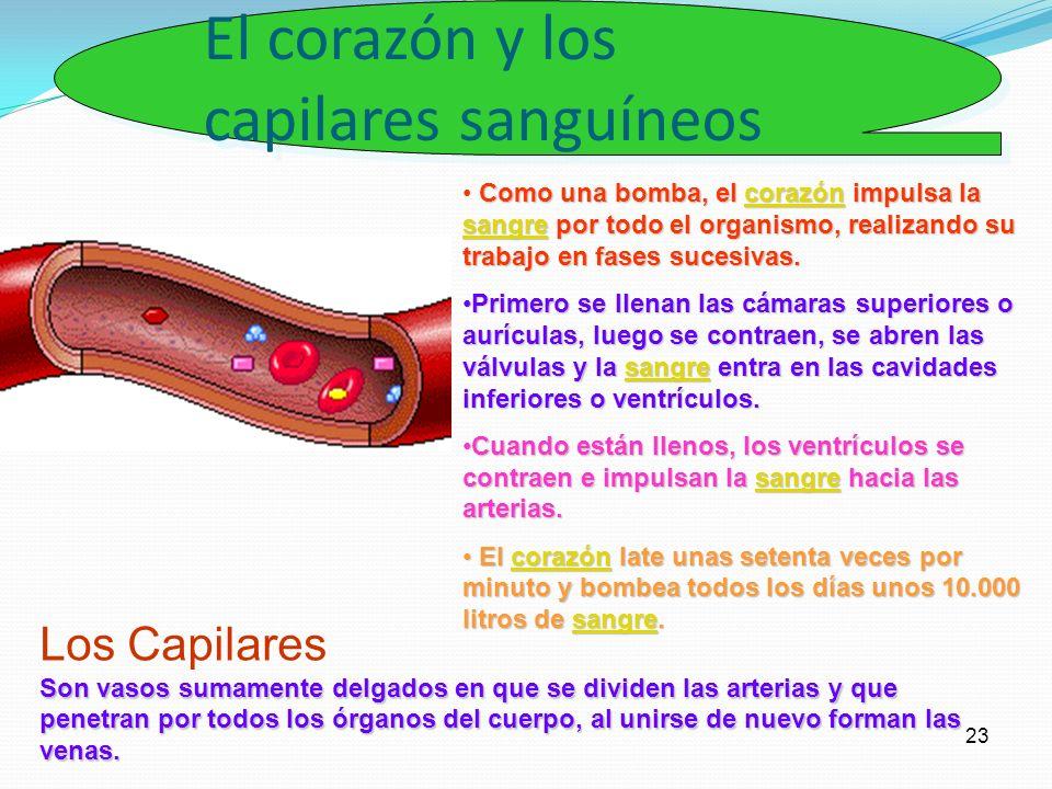 El corazón y los capilares sanguíneos