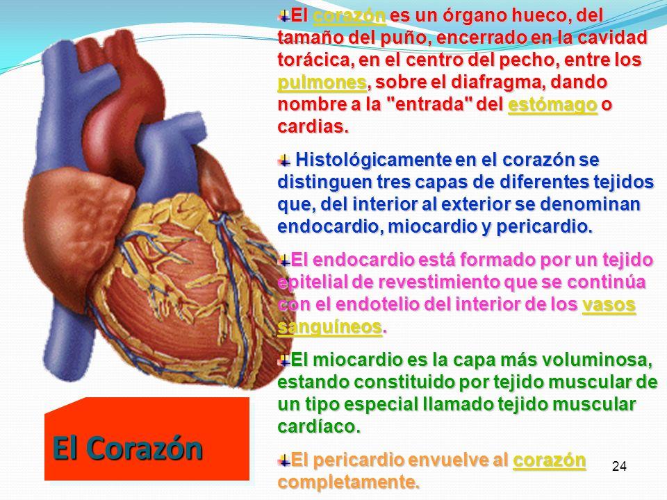 El corazón es un órgano hueco, del tamaño del puño, encerrado en la cavidad torácica, en el centro del pecho, entre los pulmones, sobre el diafragma, dando nombre a la entrada del estómago o cardias.