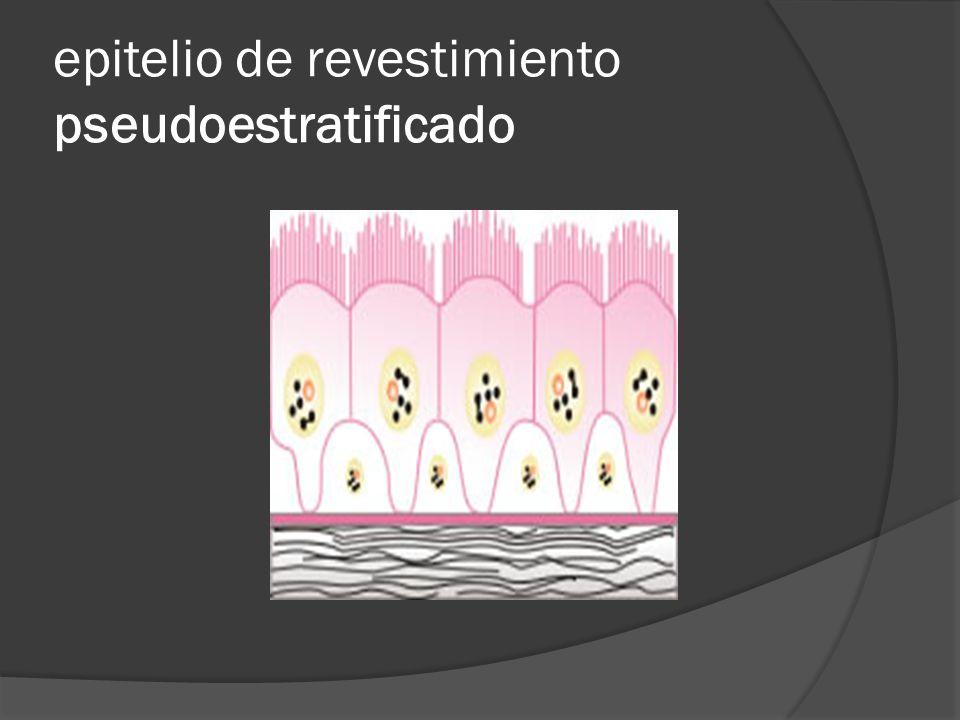 epitelio de revestimiento pseudoestratificado