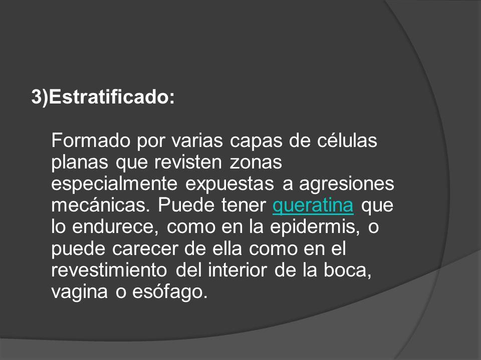 3)Estratificado: Formado por varias capas de células planas que revisten zonas especialmente expuestas a agresiones mecánicas.