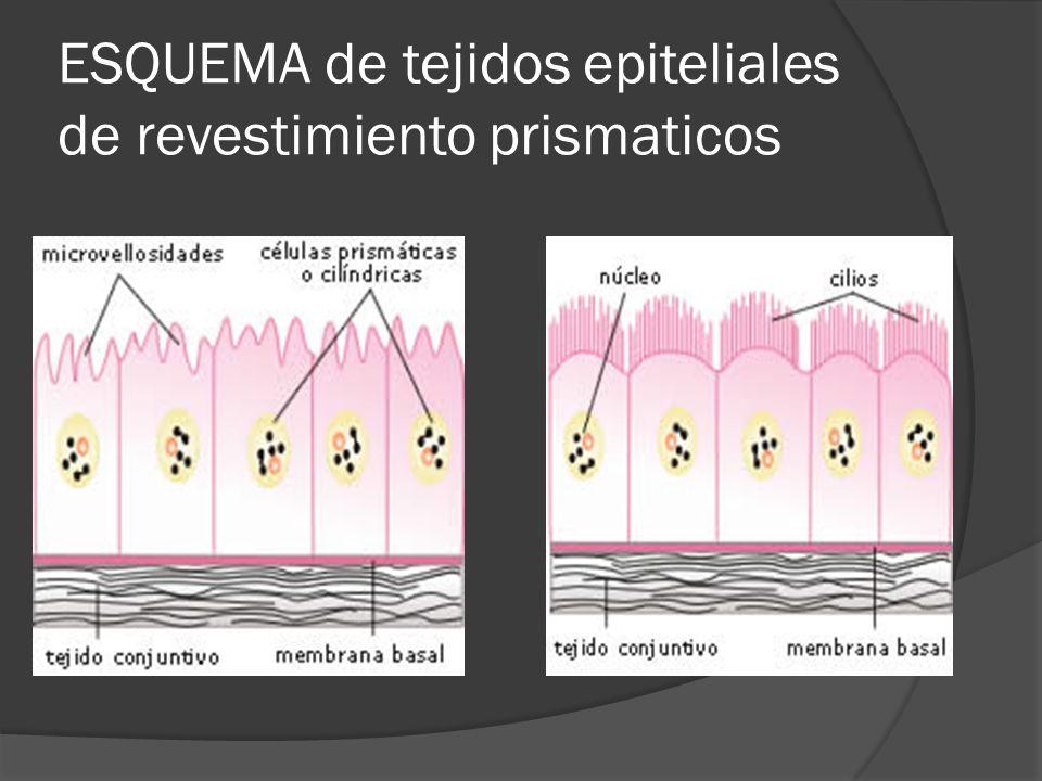 ESQUEMA de tejidos epiteliales de revestimiento prismaticos