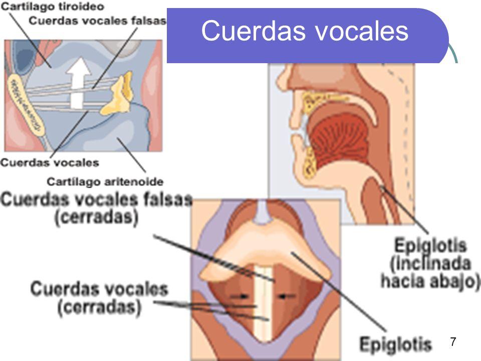 Cuerdas vocales 7
