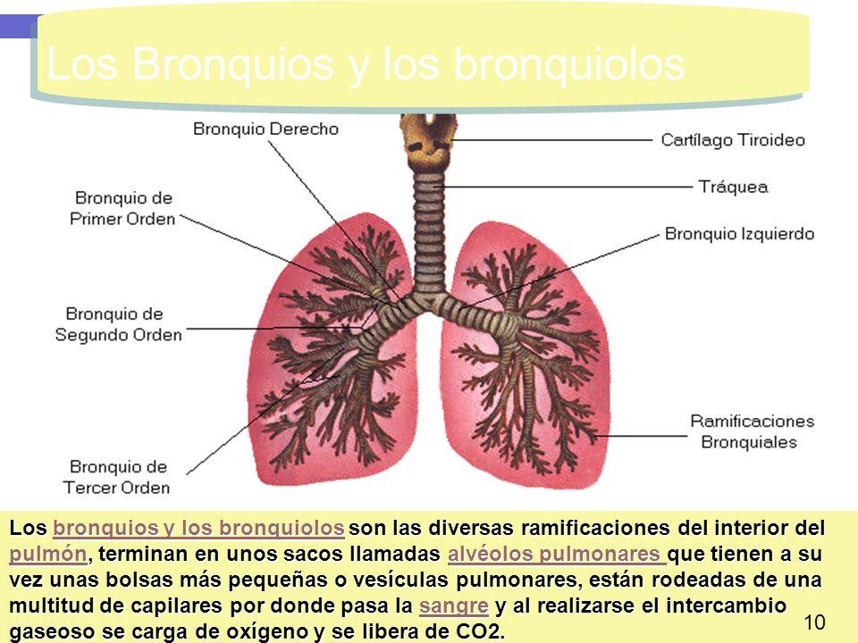 Los Bronquios y los bronquiolos