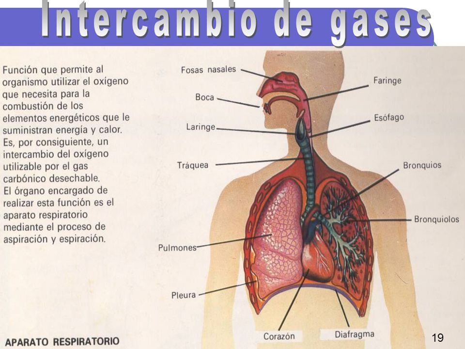 Intercambio de gases 19