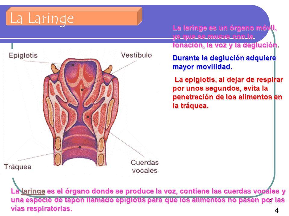 La Laringe La laringe es un órgano móvil, ya que se mueve con la fonación, la voz y la deglución. Durante la deglución adquiere mayor movilidad.