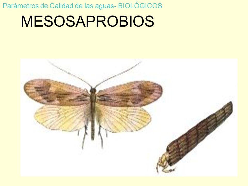 MESOSAPROBIOS Parámetros de Calidad de las aguas- BIOLÓGICOS FRIGÁNEAS