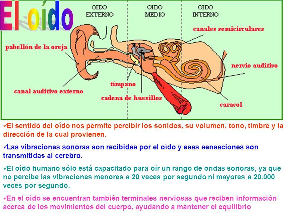 El oído El sentido del oído nos permite percibir los sonidos, su volumen, tono, timbre y la dirección de la cual provienen.