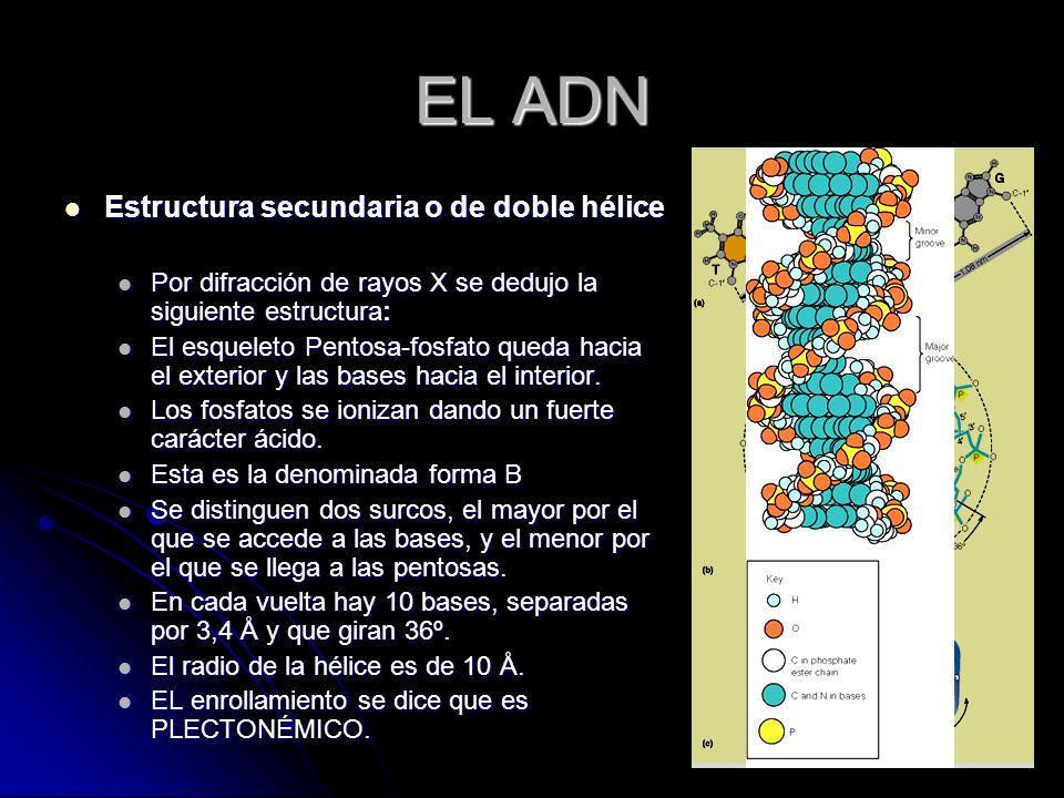 EL ADN Estructura secundaria o de doble hélice