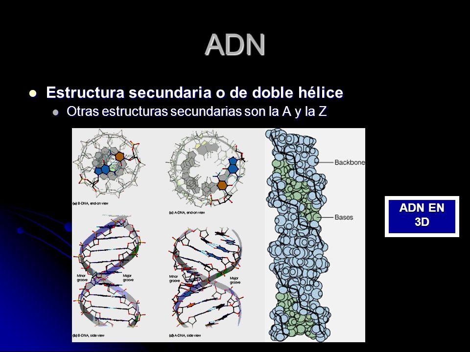 ADN Estructura secundaria o de doble hélice