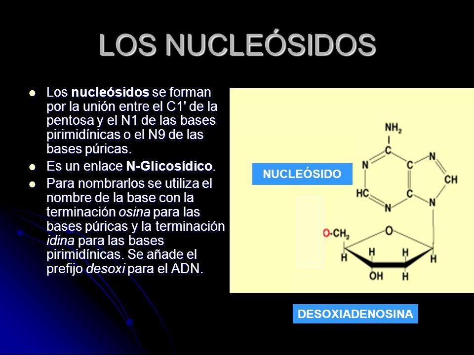 LOS NUCLEÓSIDOS Los nucleósidos se forman por la unión entre el C1 de la pentosa y el N1 de las bases pirimidínicas o el N9 de las bases púricas.