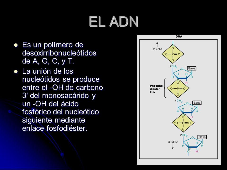 EL ADN Es un polímero de desoxirribonucleótidos de A, G, C, y T.