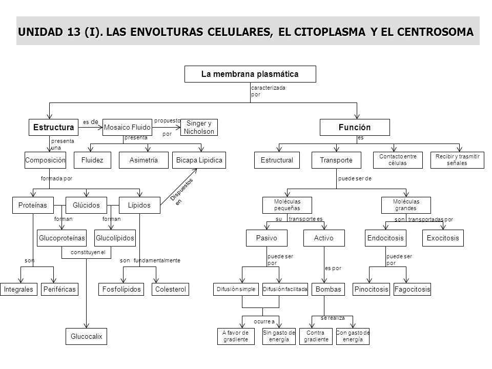 UNIDAD 13 (I). LAS ENVOLTURAS CELULARES, EL CITOPLASMA Y EL CENTROSOMA