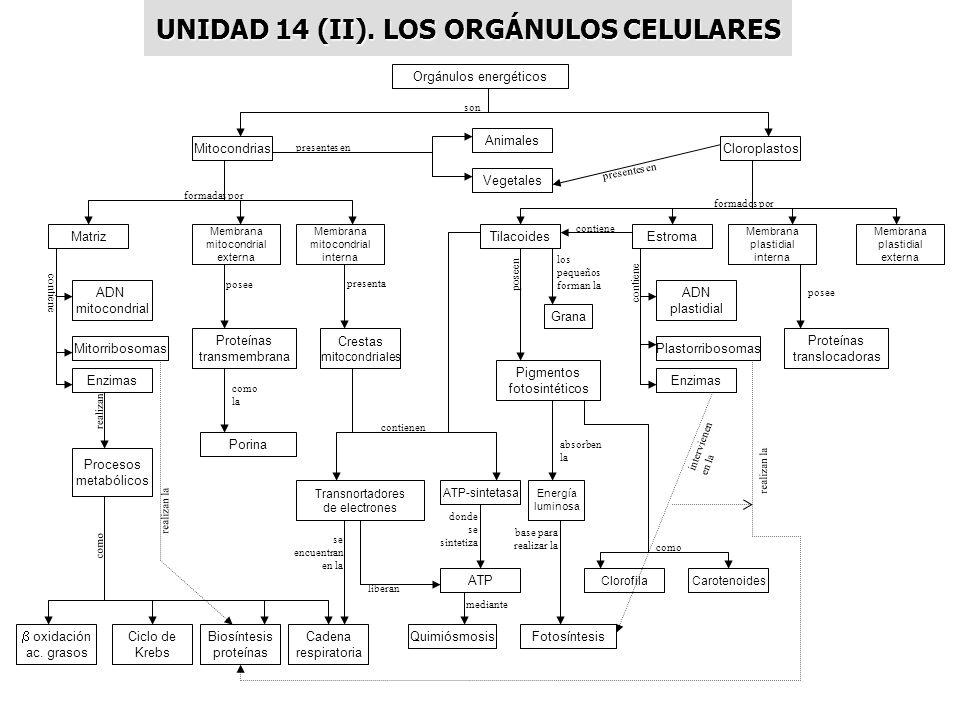 UNIDAD 14 (II). LOS ORGÁNULOS CELULARES