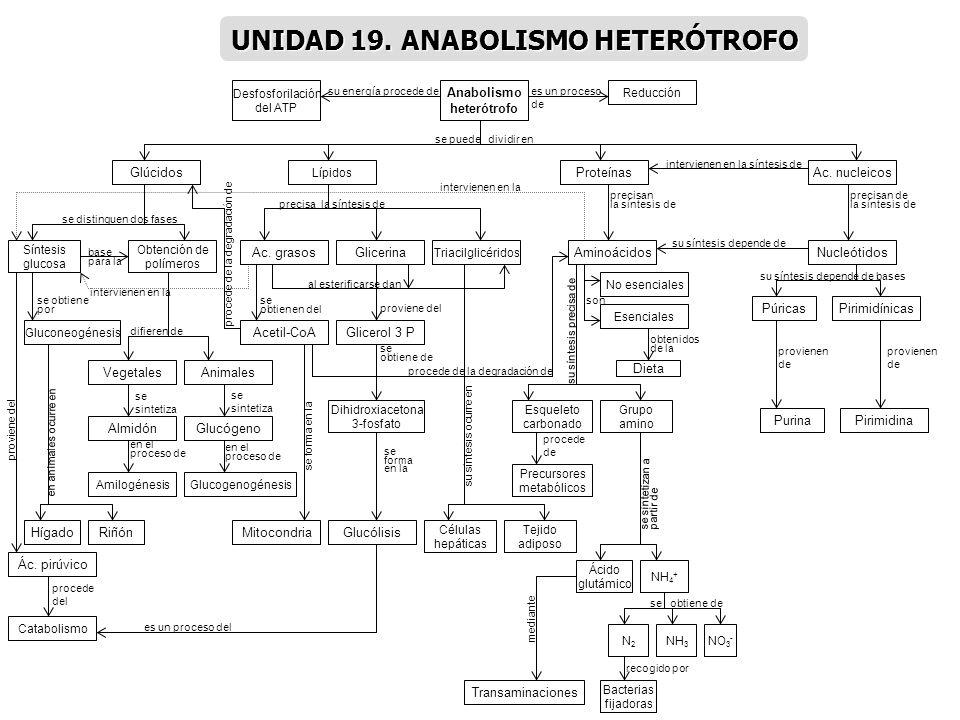 UNIDAD 19. ANABOLISMO HETERÓTROFO