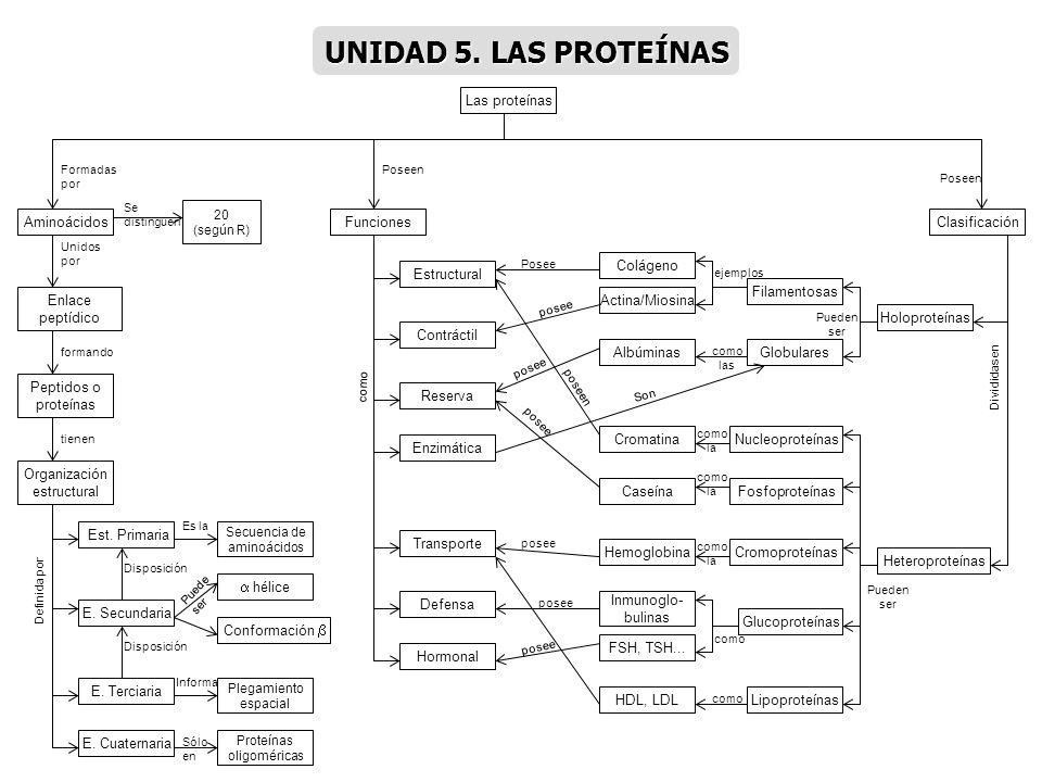 UNIDAD 5. LAS PROTEÍNAS Las proteínas Aminoácidos Funciones