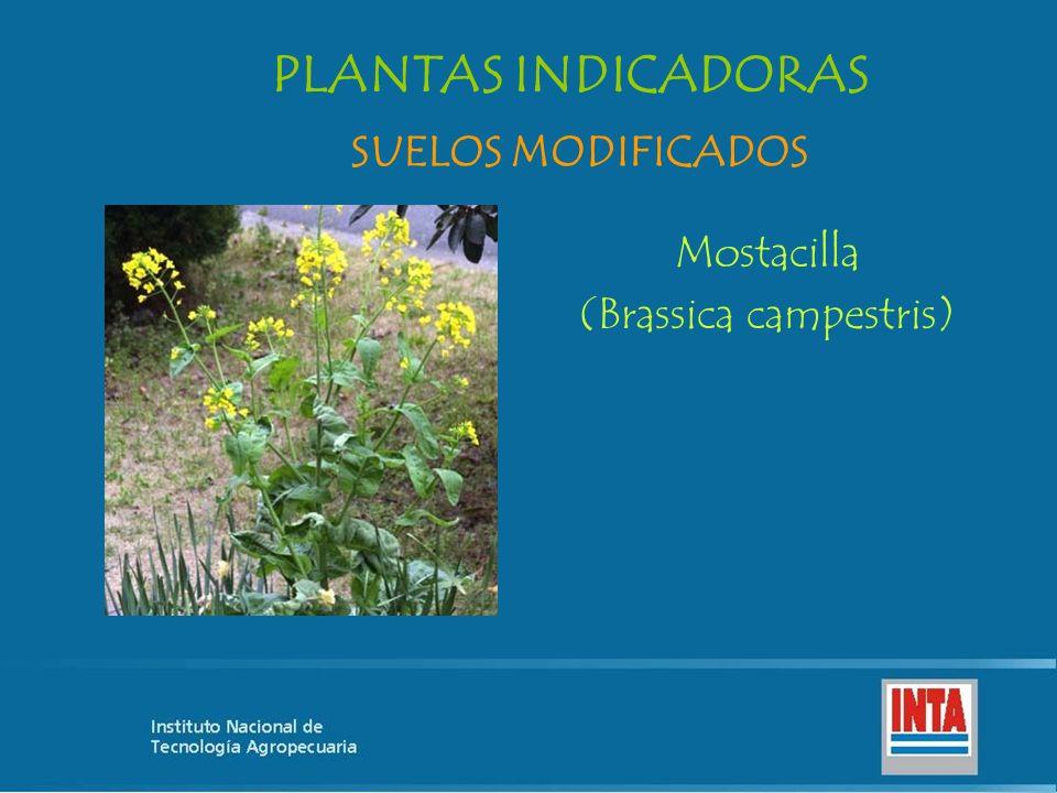 (Brassica campestris)