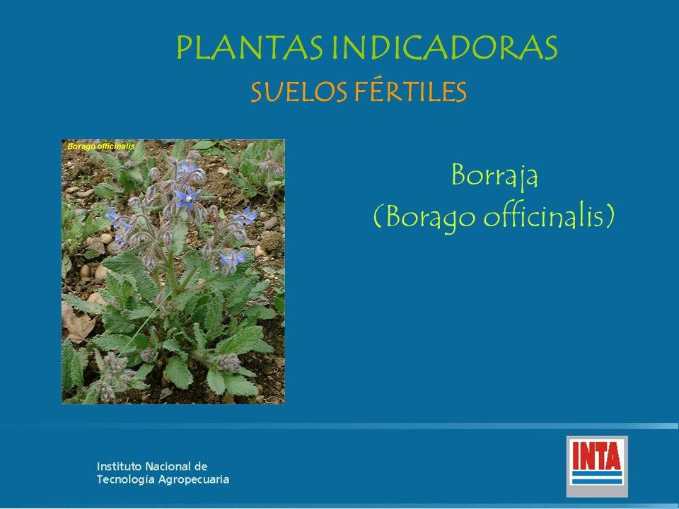 PLANTAS INDICADORAS SUELOS FÉRTILES Borraja (Borago officinalis)