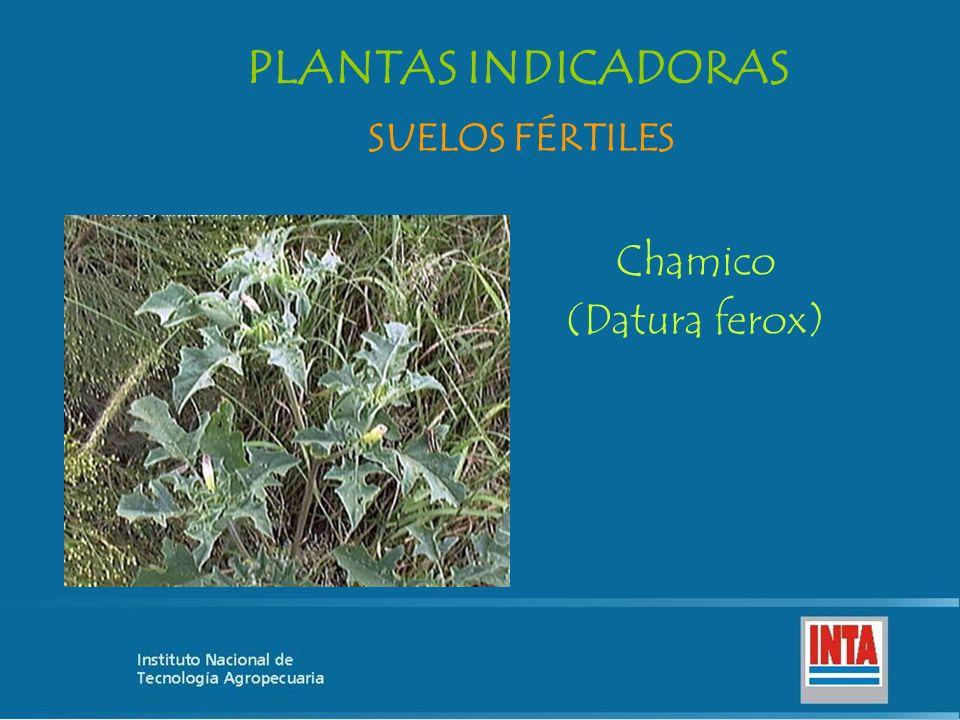 PLANTAS INDICADORAS SUELOS FÉRTILES Chamico (Datura ferox)