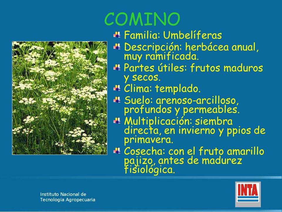 COMINO Familia: Umbelíferas