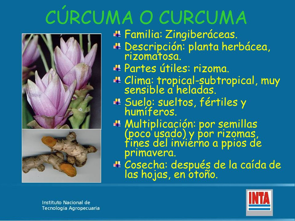 CÚRCUMA O CURCUMA Familia: Zingiberáceas.