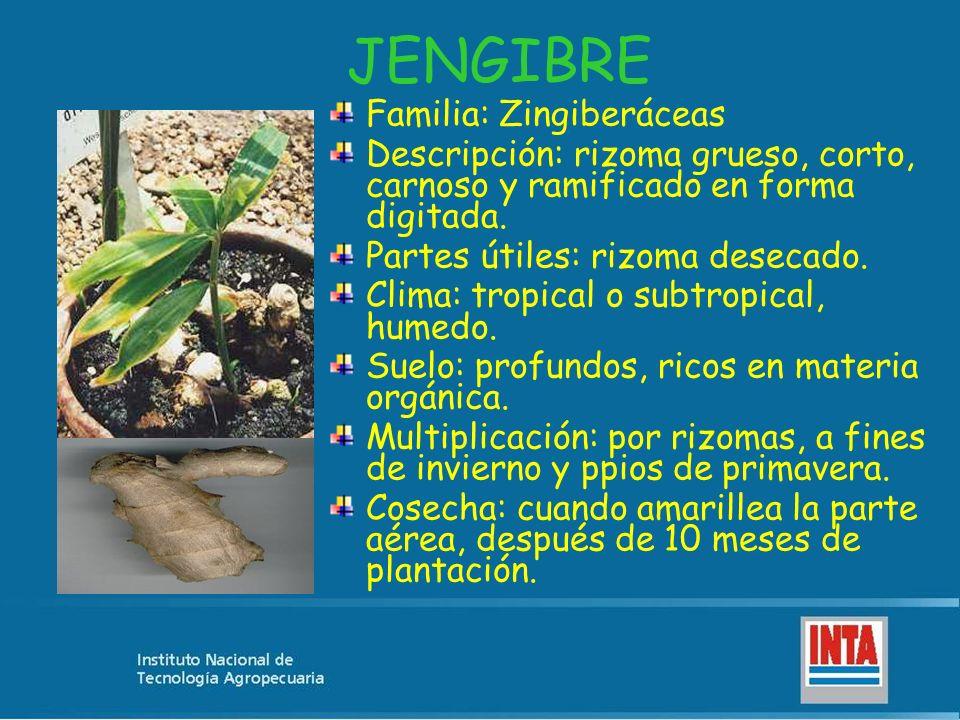 JENGIBRE Familia: Zingiberáceas