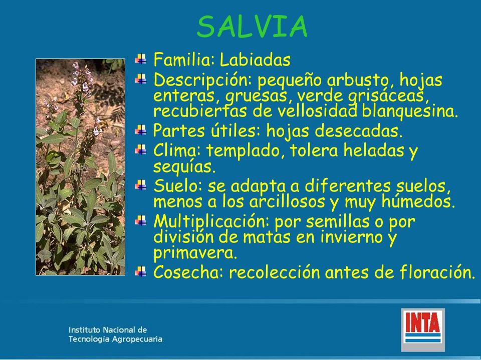 SALVIA Familia: Labiadas