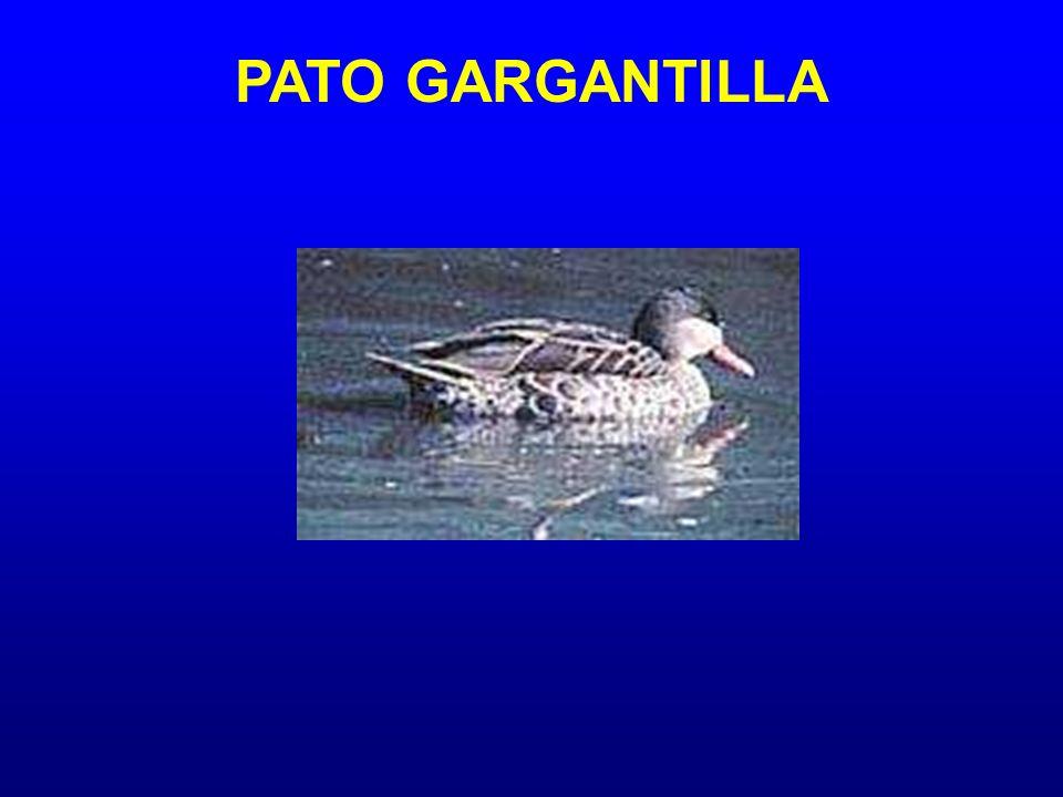 PATO GARGANTILLA