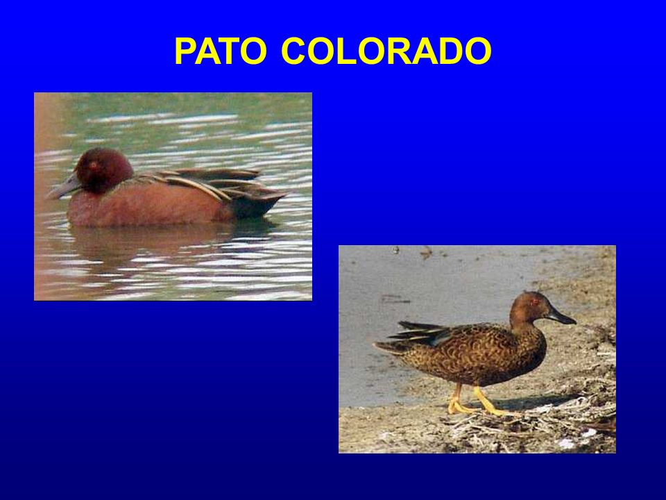 PATO COLORADO