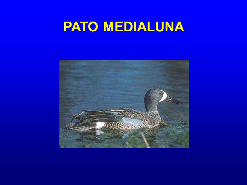PATO MEDIALUNA