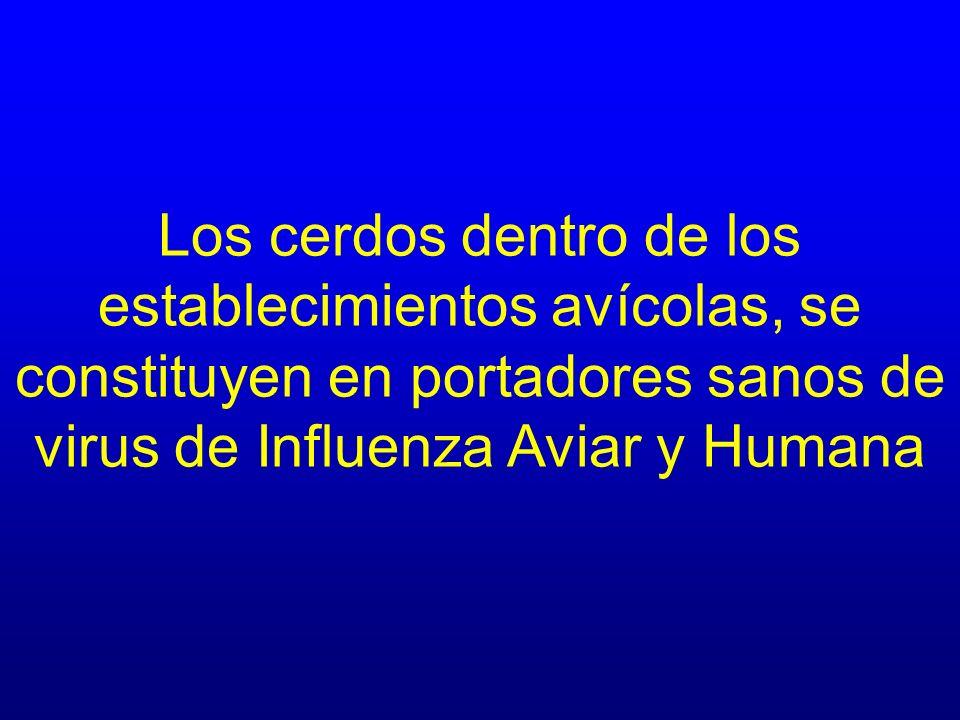 Los cerdos dentro de los establecimientos avícolas, se constituyen en portadores sanos de virus de Influenza Aviar y Humana