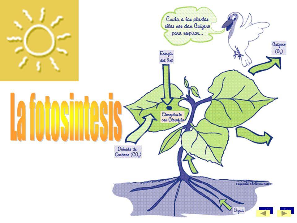 La fotosintesis.