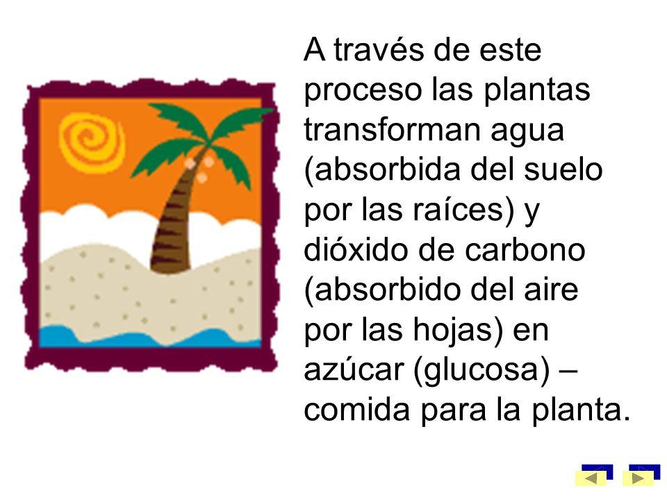 A través de este proceso las plantas transforman agua (absorbida del suelo por las raíces) y dióxido de carbono (absorbido del aire por las hojas) en azúcar (glucosa) –comida para la planta.