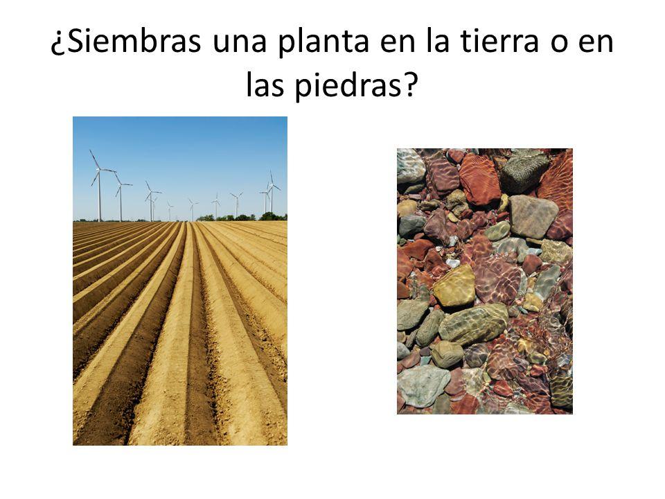 ¿Siembras una planta en la tierra o en las piedras