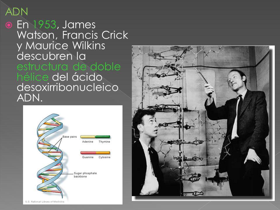 ADN En 1953, James Watson, Francis Crick y Maurice Wilkins descubren la estructura de doble hélice del ácido desoxirribonucleico ADN.