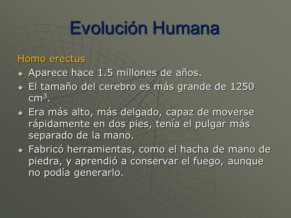 Evolución Humana Homo erectus Aparece hace 1.5 millones de años.