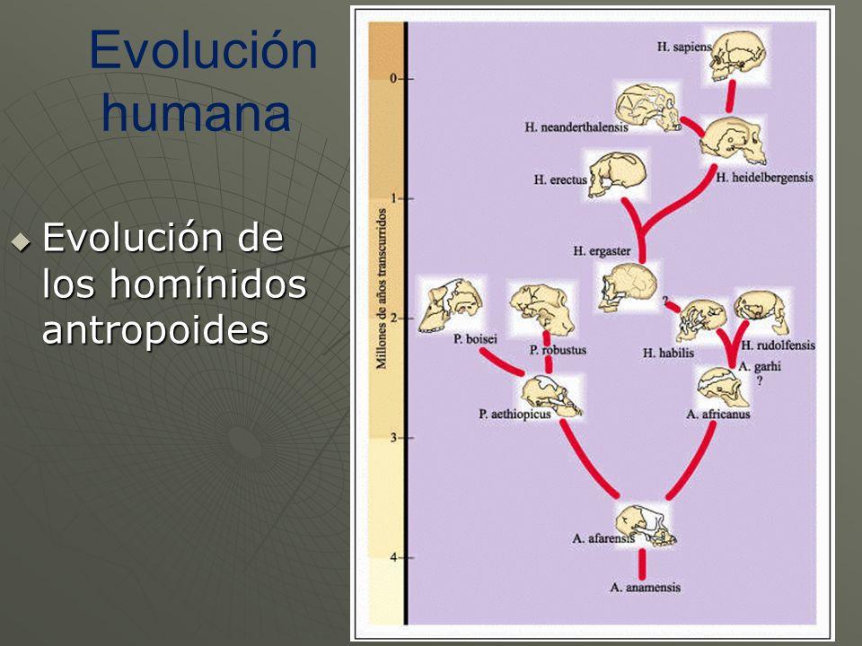 Evolución humana Evolución de los homínidos antropoides